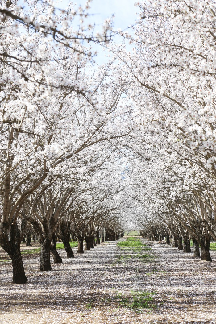 almond blooms2