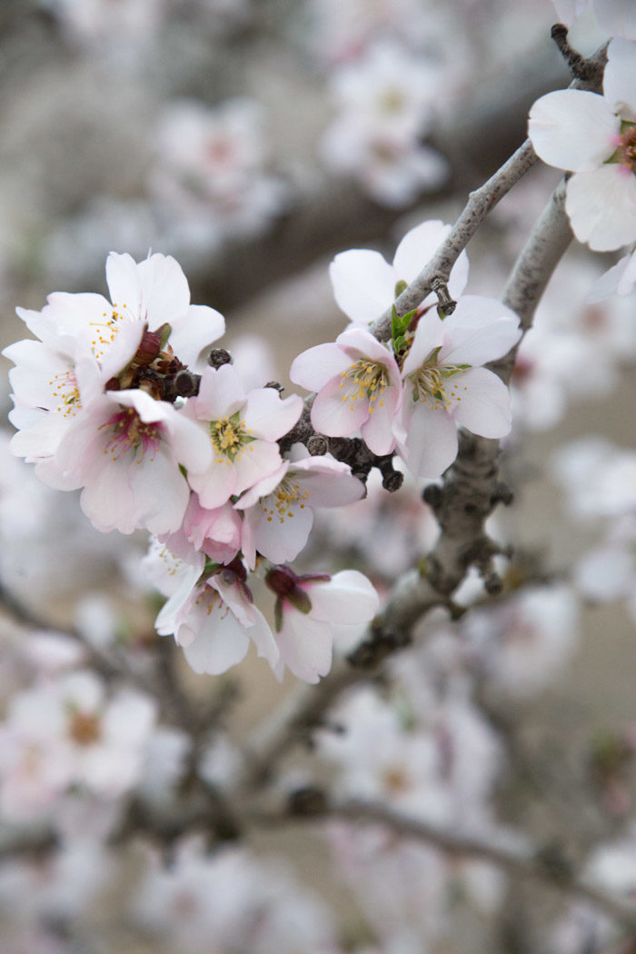 Almond Blossoms-Hither-And-Thither-9